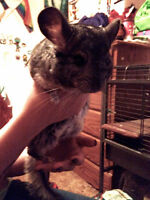 Chinchilla, Cage and Accessories