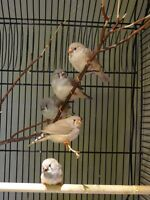 Special Zebra Finches for Sale