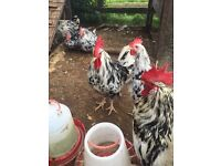 2 exchequer Leghorn LF roosters, chickens, poultry, birds
