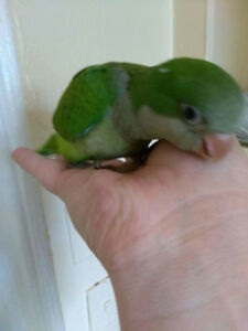 baby green quaker parrot baby handfed tame for sale
