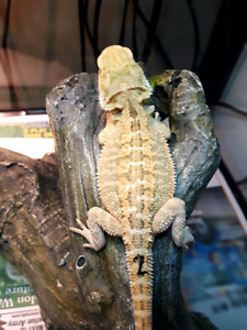 High end bearded dragons