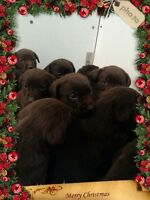 Chocolate Lab Puppies - Perfect Christmas Gift