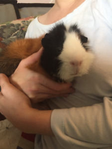 Guinea pig male looks for a guinea pig friend