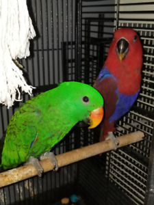 Hand raised super friendly adorable Eclectus Parrot babies