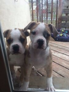 PURE BREED AMERICAN BULLDOG PUPPIES,