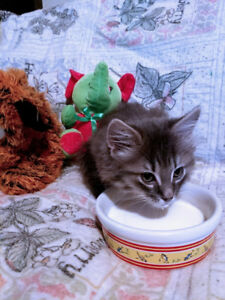 Litter trained friendly indoor kittens