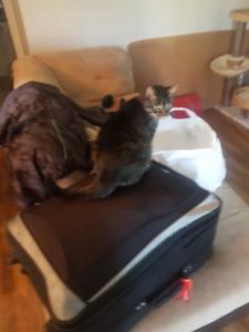 Chat perdu plateau aylmer , lost cat plateau aylmer
