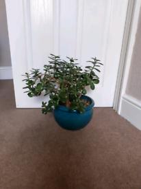 Money plant £5.00