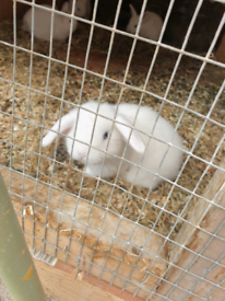White mini lop babies