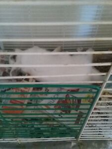 A 7 MONTH OLD FEMALE DWARF BUNNY  AND  CAGE  $ 30.00  FIRM