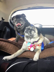 *Adorable Pudgy & Daisy Lyn - PUG crosses are avail 4 adoption*