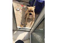 Pressa canario dog for sale