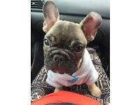 Adorable French Bulldog puppy- Home Alone! Ready now.