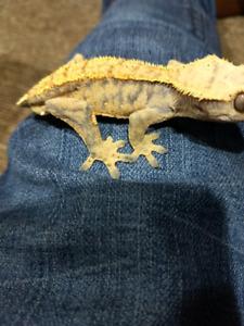 Juvenile Extreme Crested Gecko
