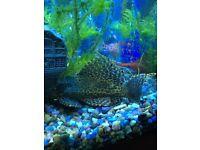 Pair of Pleco fish