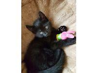 2 black kittens boy and girl