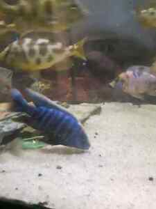 Small town cichlids 2 locations