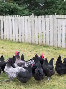 Blue black and splash australorp chicks for sale
