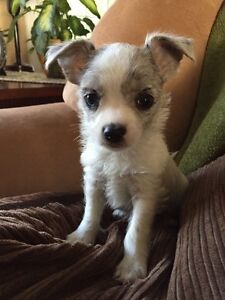 Chihuahua/Yorkie for Sale!!!!