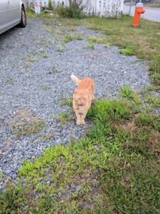 Orange Tabby Cat in Timberlea