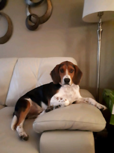 Charlie - Beagle - 1 year old - Comes with crate, blanket, bowls