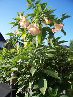 """Brugmansia, Angel Trumpet """"Pink"""" - a focal point for your garden"""