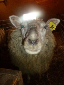 Two Lambs and An Ewe For Sale