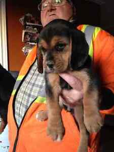 5 beagles puppies  ONLY 2 LEFT