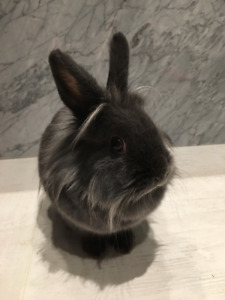 Dark Grey Lionhead Netherland Dwarf Female Rabbit 深灰狮子头荷兰小美女兔子