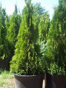 Black Cedars, Emerald Cedars,Colorado Blue Spruce-WOW!