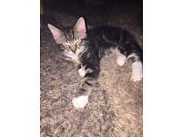 Kitten for sale (Boy)