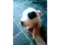 american bulldog x staffy - female
