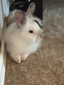 Lion head bunny , 7 months / female
