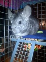 "Loving Pet Chinchilla ""Gizmo"" Needs a New Family Home"