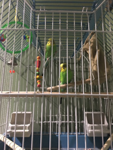 Bird cage with 2 budgies for sale.