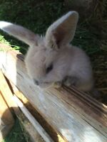 Lop/ Rex bunny for sale