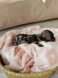 Dapple miniature dachshund Puppy's