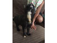 Kittens for sale -1 left black and ginger