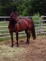 Quator horse/Trachener guilding 10 ans Laval / North Shore Greater Montréal Preview