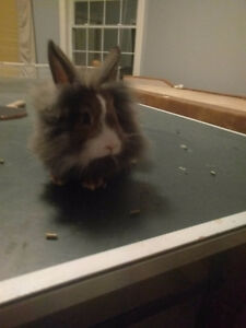 Baby lion head bunny for sale