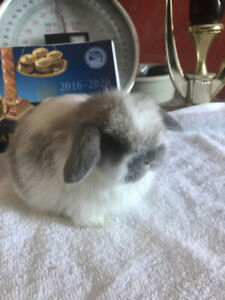 HOLLAND LOP , BABY  , PURE BRED
