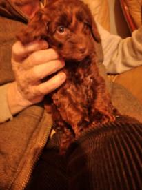 Cocker x poodle