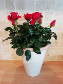 Red rose plant in pot