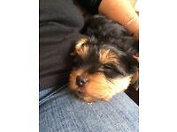 Last 2Yorkshire Terrier Boy Pups For Sale