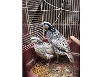 2 pairs and 1 male snowflake Bob white quail