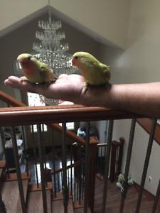 Hand fed Lovebird Babies