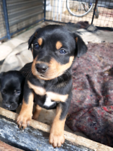 Pure Bred Kelpie Puppies | Dogs & Puppies | Gumtree