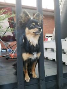 Recherche : Chihuahua poil long Femelle