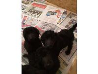 Blue Standard poodle pups