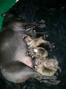 French Pug puppies ready in 7 weeks